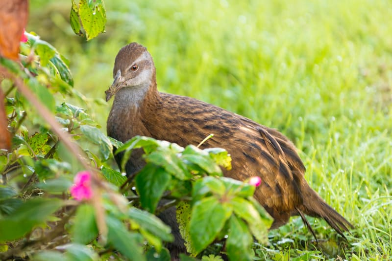 North Island Weka, Russell Orongo Bay Holiday Park