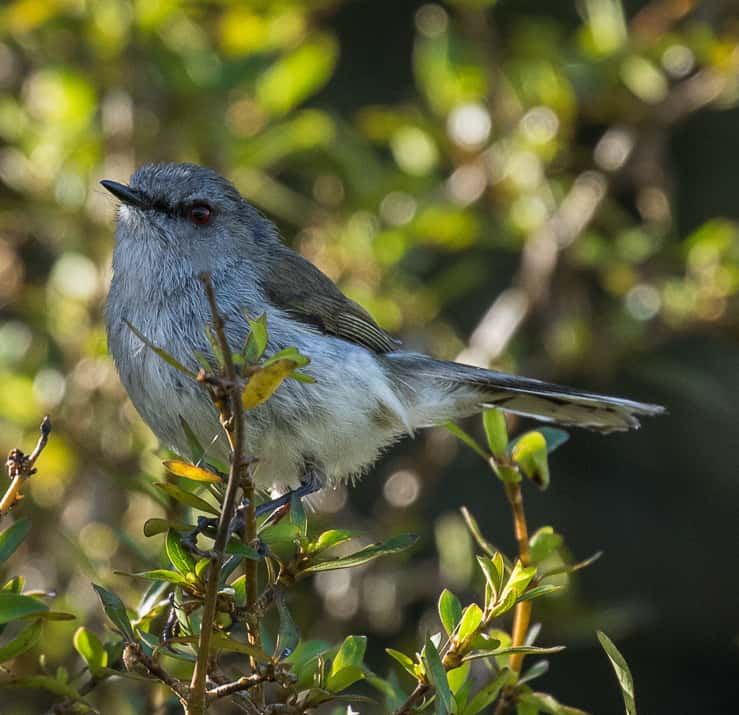 By Francesco Veronesi from Italy - Grey Gerygone - New Zealand_FJ0A0288, CC BY-SA 2.0, https://commons.wikimedia.org/w/index.php?curid=65587145