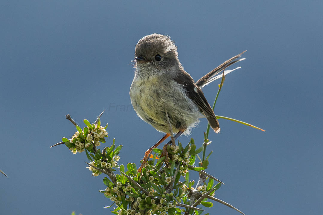 By Francesco Veronesi from Italy - Tomtit fem - New Zealand_FJ0A5026, CC BY-SA 2.0, https://commons.wikimedia.org/w/index.php?curid=65031776