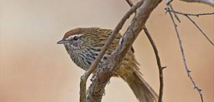 Fernbird, Russell Orongo Bay Holiday Park