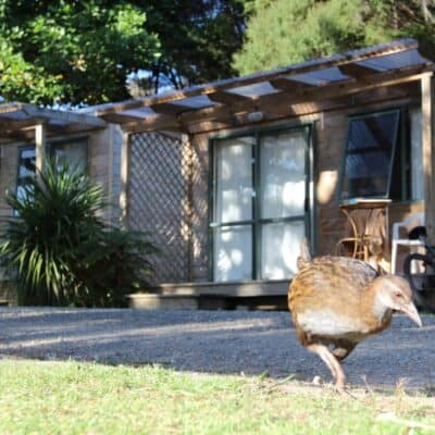 Weka roam free outside cabins, Russell-Orongo Holiday Park